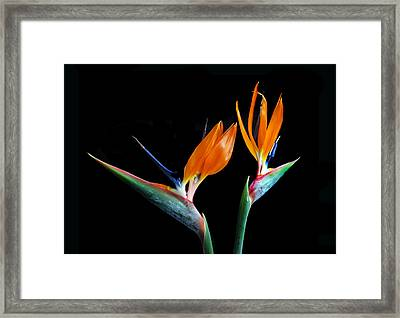 Birds Of Paradise Framed Print by Terence Davis