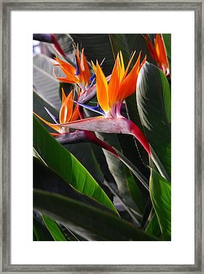 Birds Of Paradise Tropical Celebration Framed Print