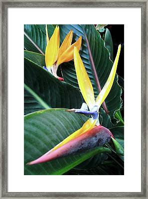 Birds Of Paradise With Leaves Framed Print