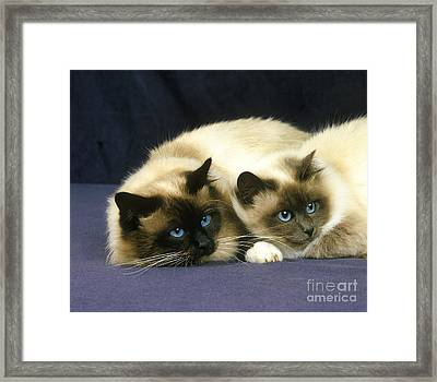 Birmanese Domestic Cat Framed Print by Gerard Lacz