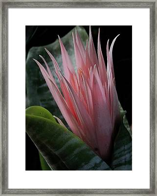 Birth Of A Bromeliad Framed Print