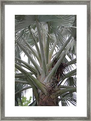 Bismark Palm Framed Print