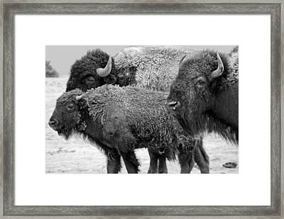 Bison - Way Out West Framed Print