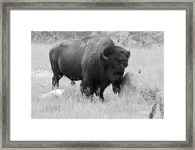 Bison And Buffalo Framed Print