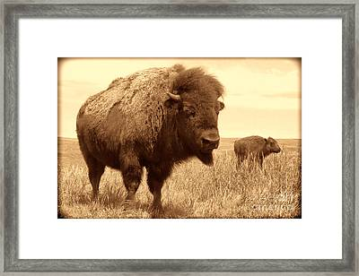 Bison And Calf Framed Print