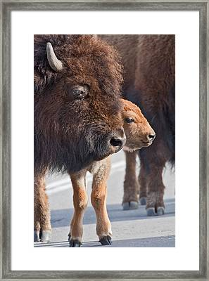 Framed Print featuring the photograph Bison And Calf by Wesley Aston