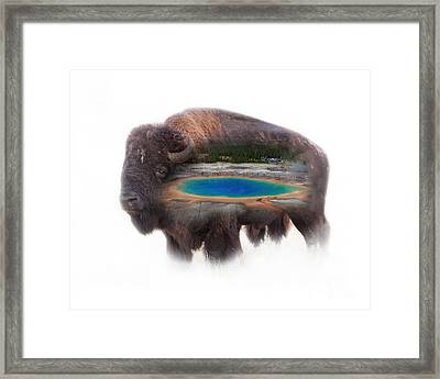Bison And Great Prismatic Spring Double Exposure Framed Print
