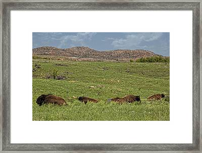 Bison At Rest Framed Print