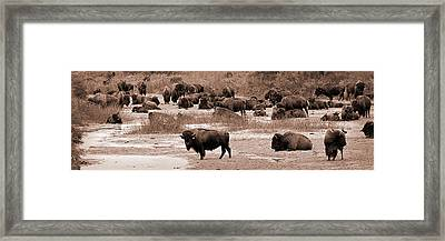 Bison At Salt Fork Arkansas River Kansas Framed Print by Fred Lassmann