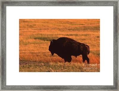 Framed Print featuring the photograph Bison At Sunset by Edward R Wisell
