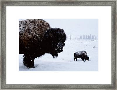 Bison Bison Bison In The Snow Framed Print by Joel Sartore