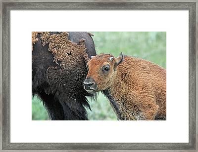 Bison Calf Framed Print