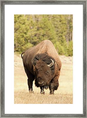 Bison Framed Print by Corinna Stoeffl, Stoeffl Photography