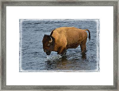 Bison Crossing River Framed Print by Kae Cheatham