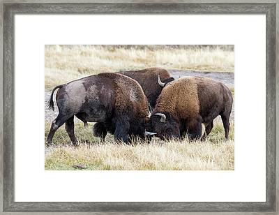 Framed Print featuring the photograph Bison Fight by Wesley Aston