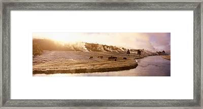 Bison Firehole River Yellowstone Framed Print by Panoramic Images