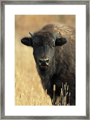 Bison Glance Framed Print by John Blumenkamp