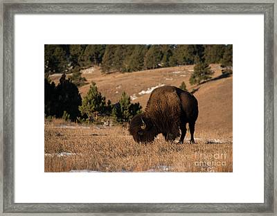 Bison Grazing In Mountain Meadow Framed Print