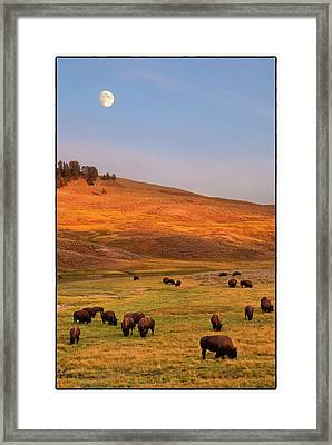 Bison Grazing On Hill At Hayden Valley Framed Print by Sankar Raman