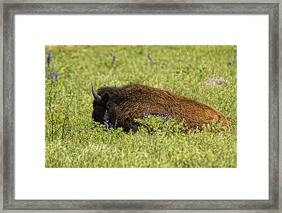 Bison In Bluebonnests Framed Print