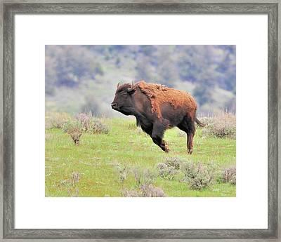 Bison In Flight Framed Print by John R Young Jr