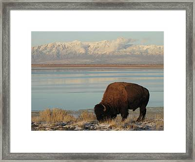 Bison In Front Of Snowy Mountains Framed Print