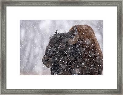 Bison In Snow Framed Print