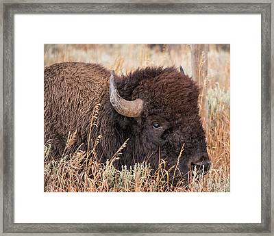 Framed Print featuring the photograph Bison In The Grass by Mary Hone