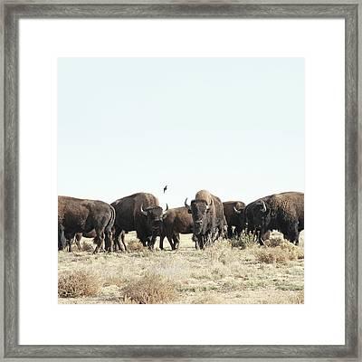 Bison Framed Print by Lauren Mancke
