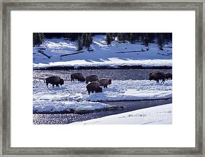 Bison On River Strand Landscape Framed Print