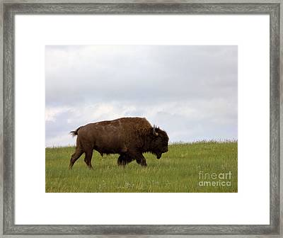 Bison On The American Prairie Framed Print