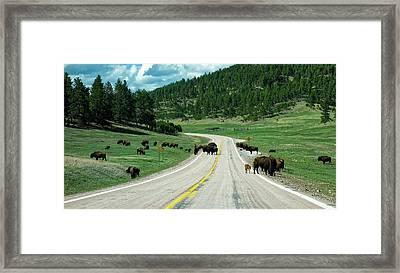 Bison Roadblock Framed Print by Aline Dassel