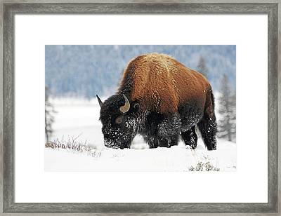 Bison Roaming In The Lamar Valley Framed Print