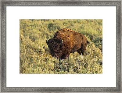 Bison Framed Print by Sebastian Musial