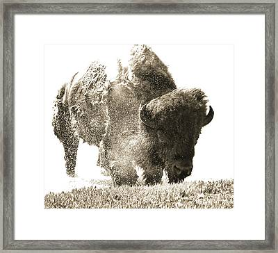 Bison Splashing Framed Print
