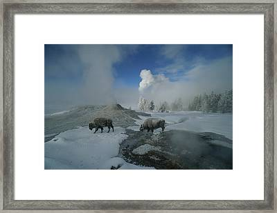 Bison Walking In Front Of Lion Geyser Framed Print