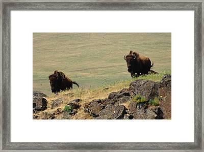 Bison Watch Framed Print