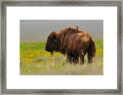 Bison With Cowbird On Back Framed Print by Alan Lenk