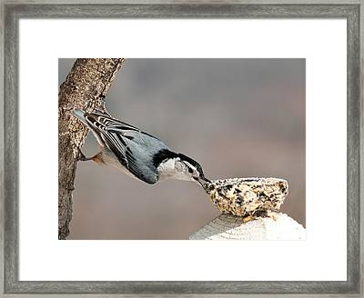 Framed Print featuring the photograph Bit Off More Than He Could Chew by Lara Ellis