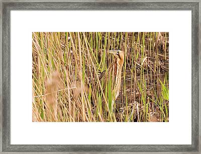 Bittern In The Reeds Framed Print