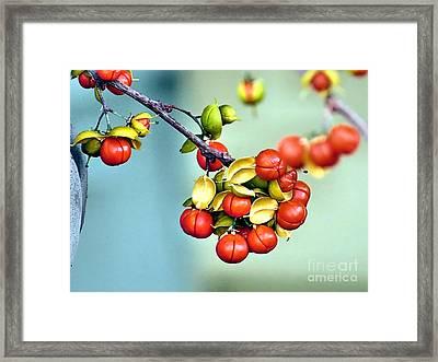 Bittersweet Berries Framed Print by Janice Drew