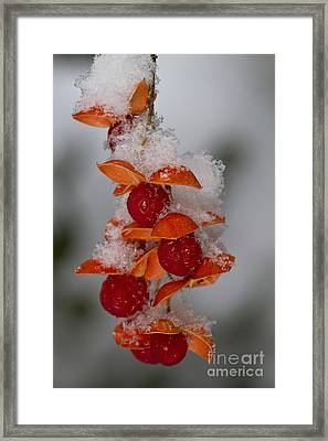 Bittersweet Berries Framed Print by Kenneth M. Highfill