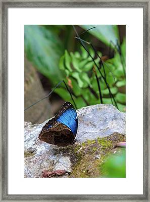 Framed Print featuring the photograph Black And Blue Butterfly Eating by Raphael Lopez