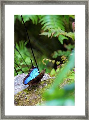 Black And Blue Butterfly Framed Print