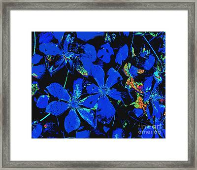 Black And Blue Clematis - Digital Painting Framed Print by Merton Allen