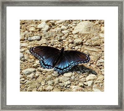 Black And Blue Monarch Butterfly Framed Print
