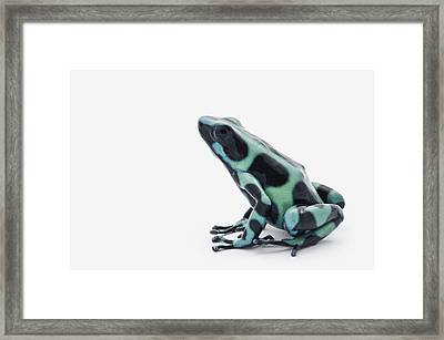 Black And Green Poison Dart Frog Framed Print by Corey Hochachka