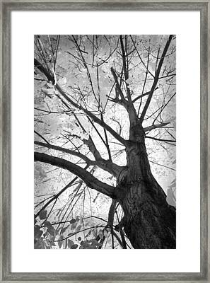 Black And White Autumn Tree  Framed Print by James BO  Insogna