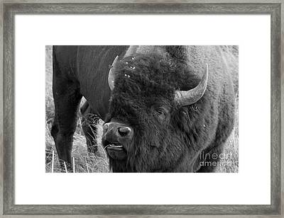 Black And White Bison In Heat Framed Print