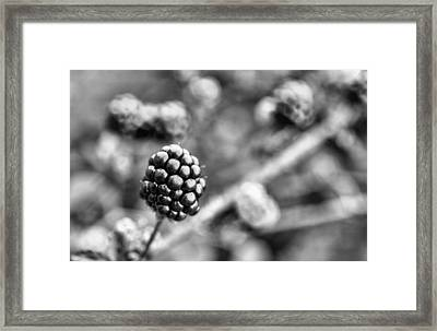 Black And White Blackberry Framed Print by JC Findley
